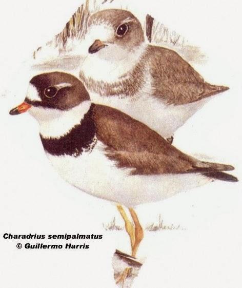 Chorlito palmado: Charadrius semipalmatus