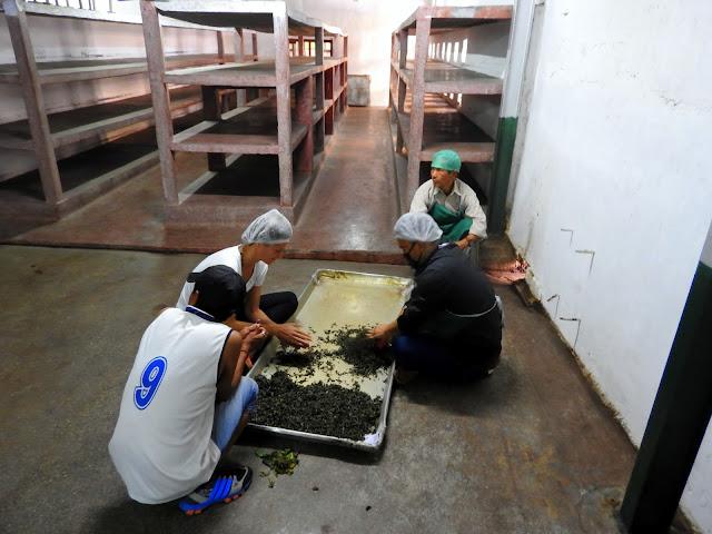 Tea leaves being hand-rolled | Makaibari, Kurseong (Darjeeling) - West Bengal, India