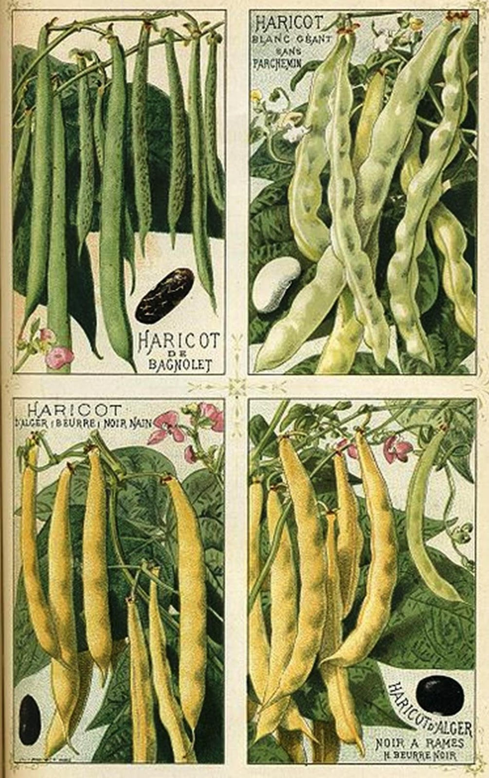 roots 39 n 39 shoots how to grow common bean plant vegetable of the month. Black Bedroom Furniture Sets. Home Design Ideas
