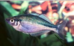 Ikan Hias Air Tawar Terindah Rainbow Lacustris (Melanotaenia Lacustris munro)