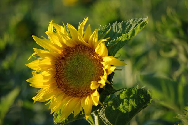 Fleur de : Tournesol