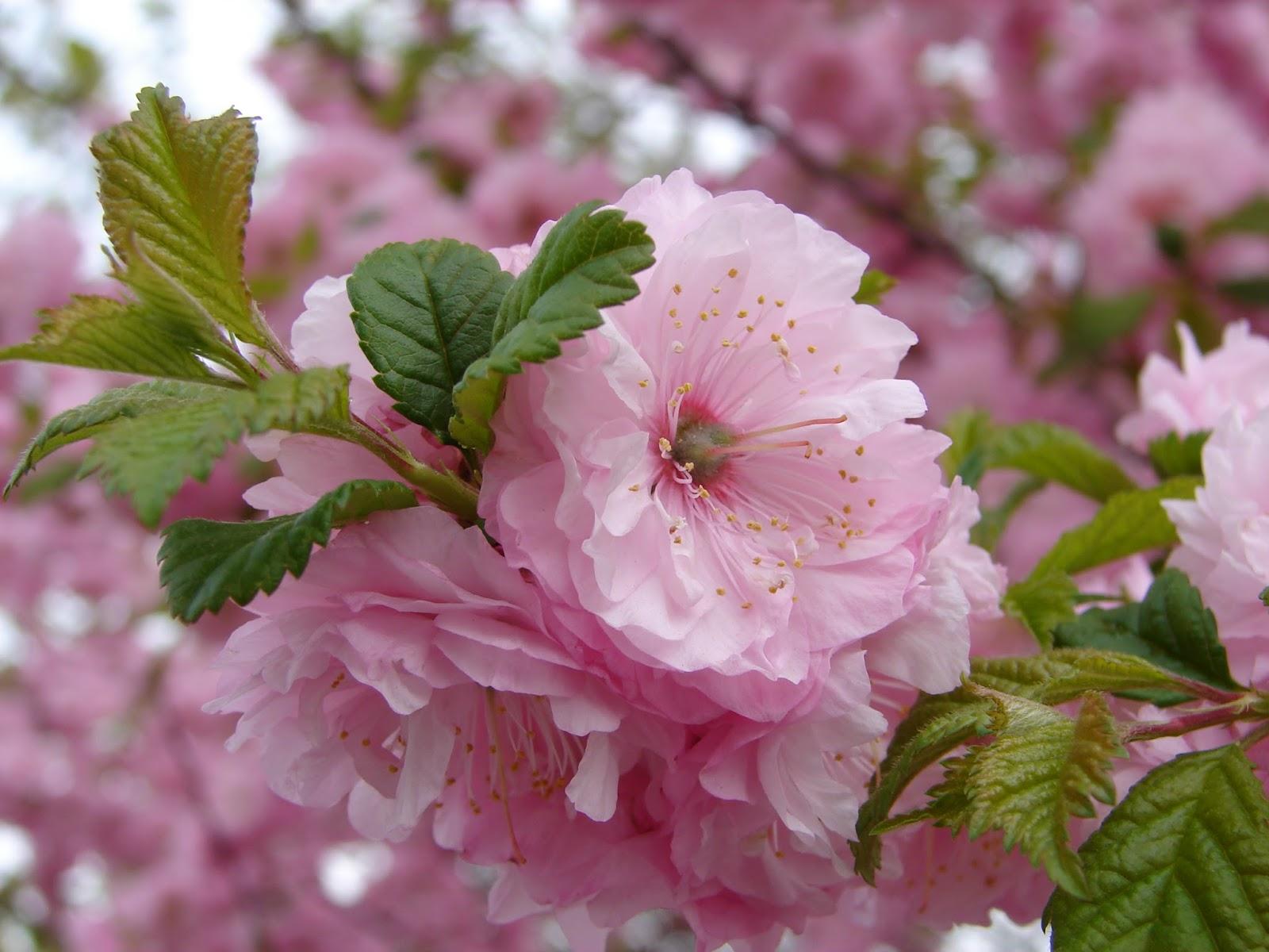 New Utah Gardener Flowering Almond Prunus triloba Waterwise Shrub For Utah