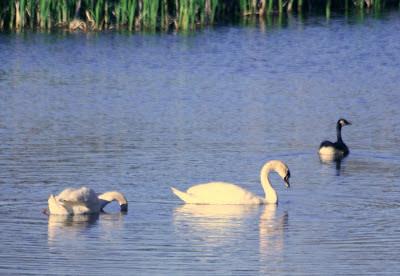 The swans @ Hendrie Park, RBG, Burlington, ON :: All Pretty Things