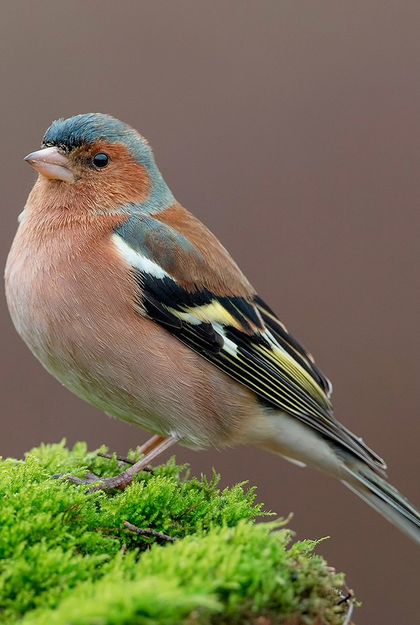 A beautiful chaffinch.