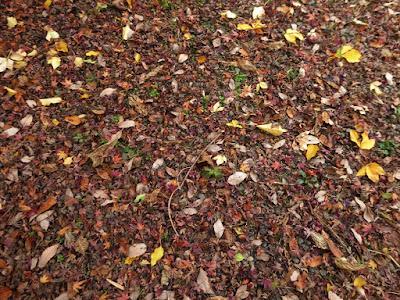 くろんど池 秋の紅葉ウォーキング モミジの落ち葉