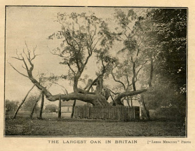 The Cowthorpe Oak 1906 copyright The Yorkshire Post