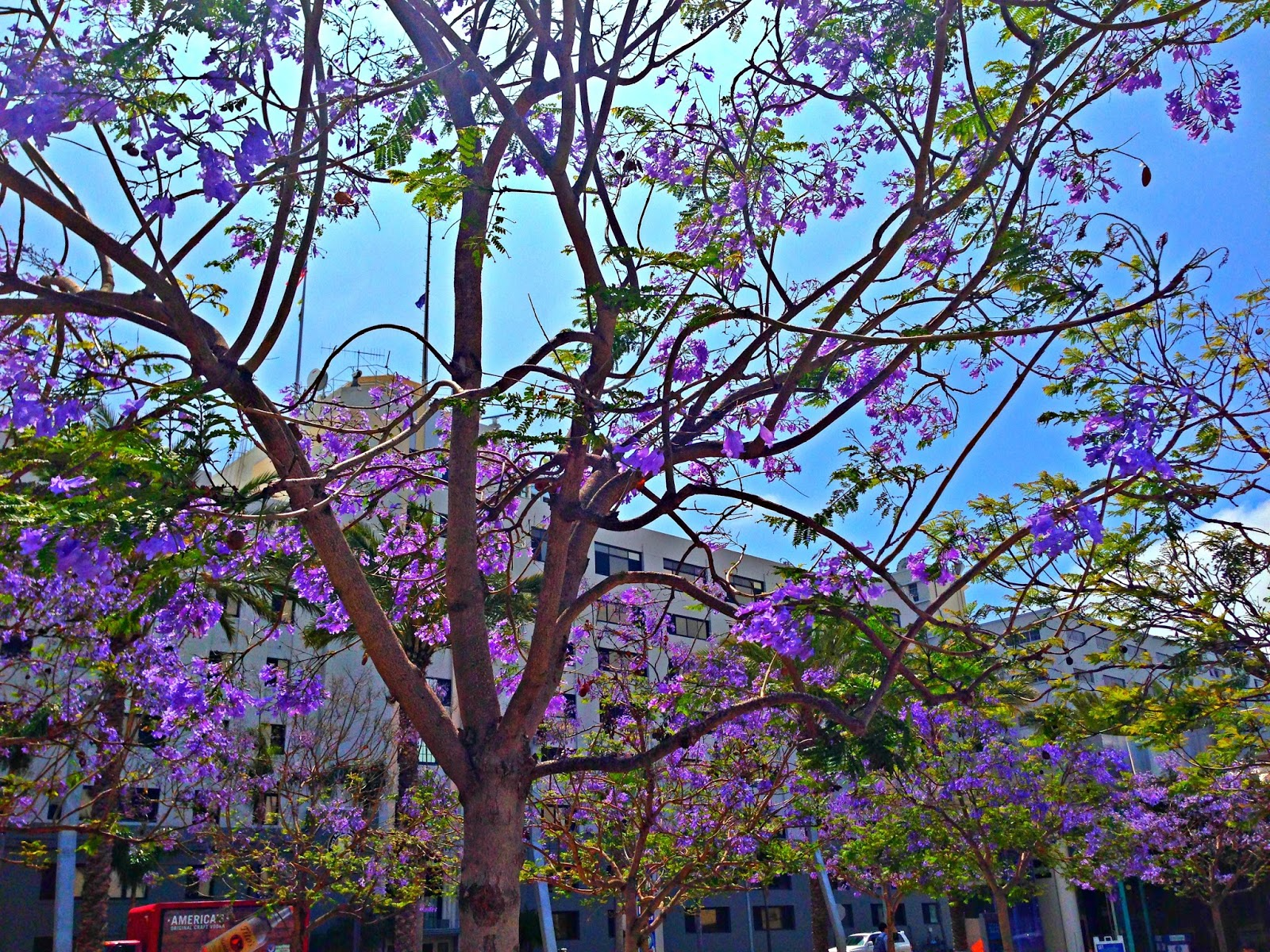 Jacaranda Trees In California Febeth Diary Of A Domesticated