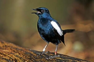2 Cara Melakukan Proses Pengembunan Burung Kacer Yang Baik Dan Benar