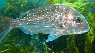 snapper, marine reserve
