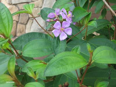 melastome, Melastomaceae
