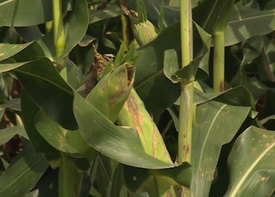 What is happening in the corn plant during the month of September?