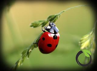 Kumbang kubah (Mikrapis sp) si pemangsa wereng