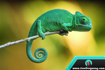 How to take care Chameleon
