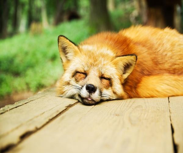 raposa-hibernação