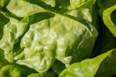 Lettuce Vegetables Business Opportunities
