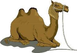 Верблюд фото картинки