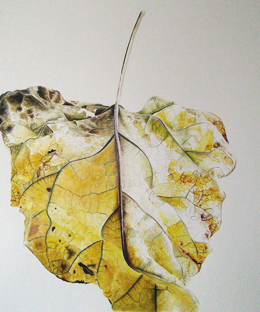A watercolour botanical art painting of Catalpa