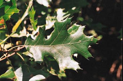 trees of america roble negro Quercus vetulina