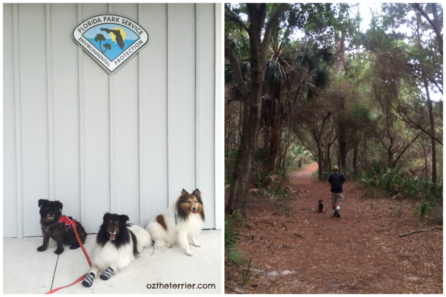 Oz the Terrier meets up with friends, CowSpotDogs, to go hiking in Little Talbot State Park in Jacksonville, Florida
