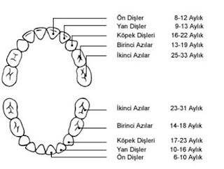 Dişin Yapısı, Özellikleri ve Diş Hastalıkları