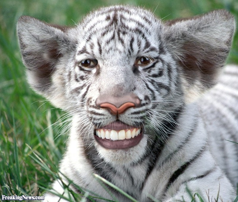 Funny White Tiger