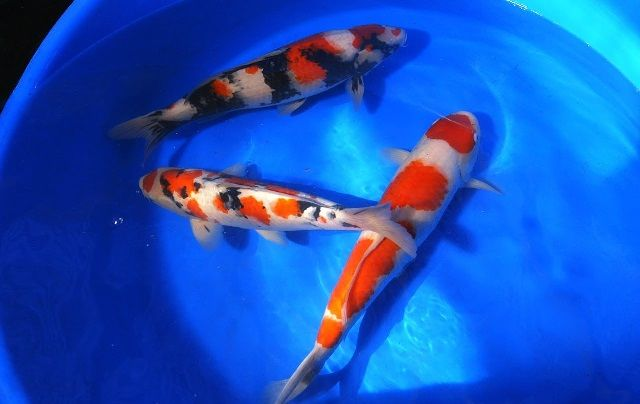 Jenis Ikan Koi Blitar