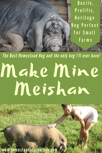 Meishan pigs are quite possibly the best homestead hog for a small farmer looking for a highly prolific niche hog, that is low input with a low impact on the land.