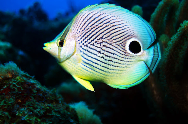 Butterfly Fish facts, information and pictures 3