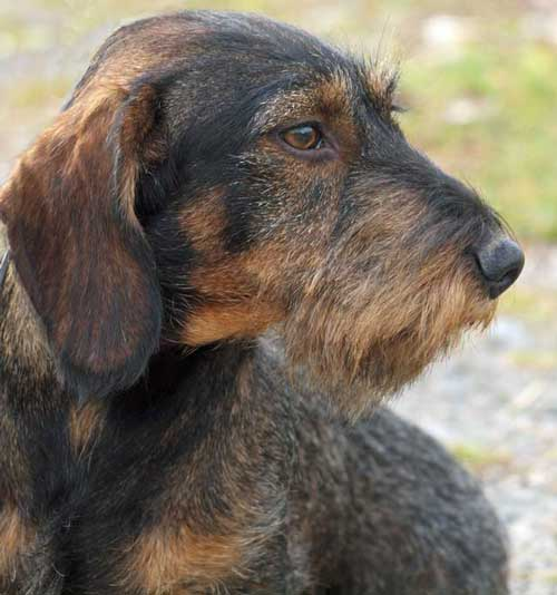 born to track blog blood tracking wirehaired dachshund puppies for sale. Black Bedroom Furniture Sets. Home Design Ideas