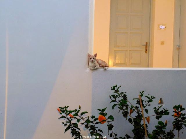 grecki rudo-biały kot siedzi na białym murku pod ścianą kwitnący na pomarańczowo hibiskus Mykonos Grecja