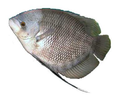 Cara Mengobati Ikan Gurami Cara Mengobati Ikan Gurami