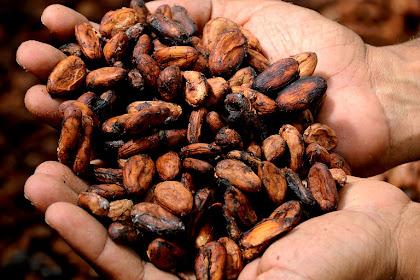 6 Manfaat biji kakao untuk kesehatan dan cara menggunakannya
