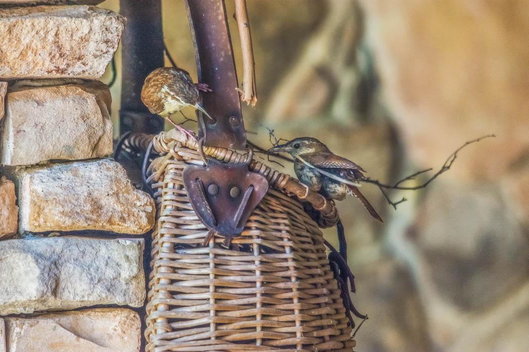 carolina wrens building nest in basket