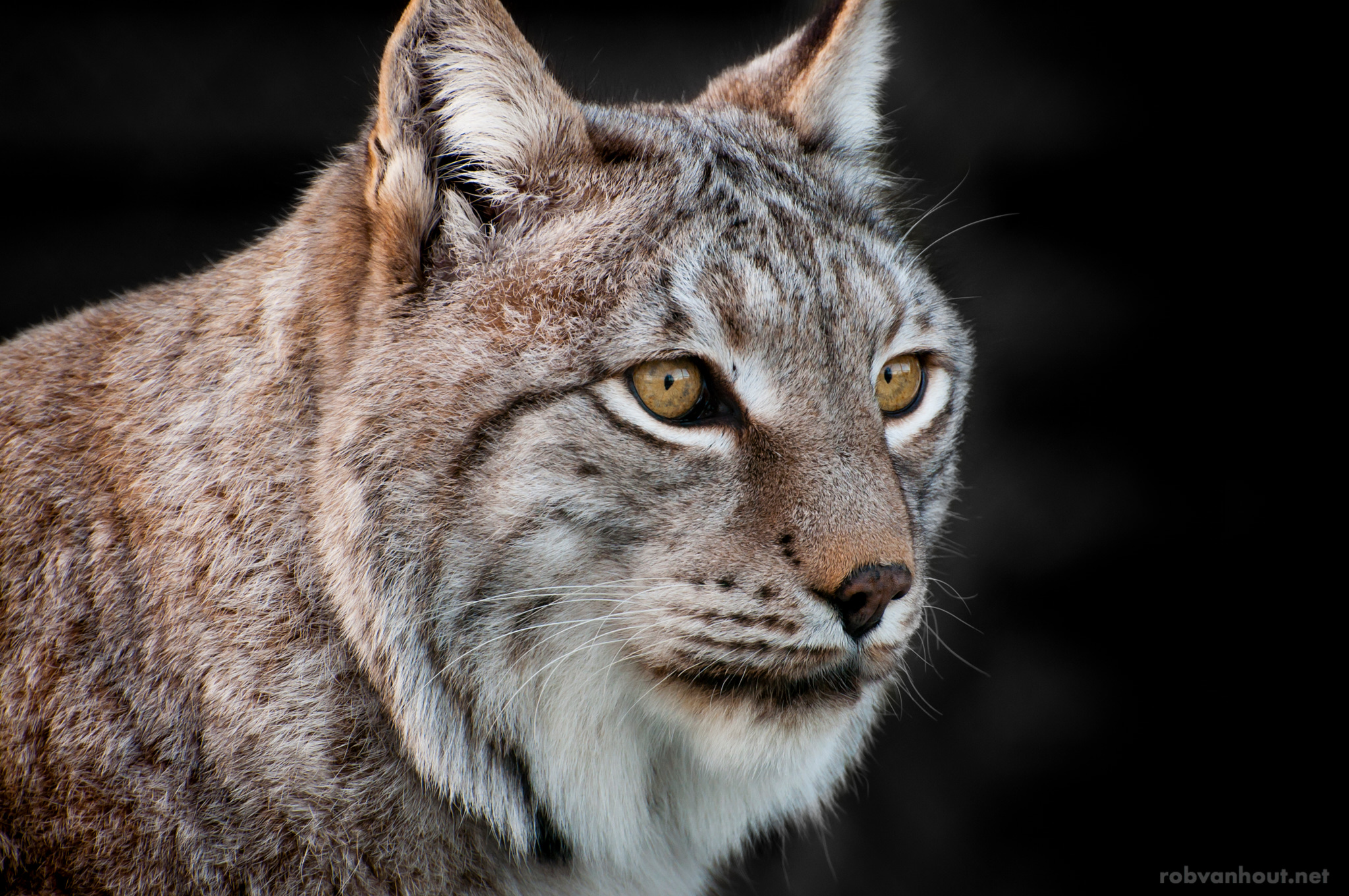 Eurasian Lynx — Dierenrijk Zoo