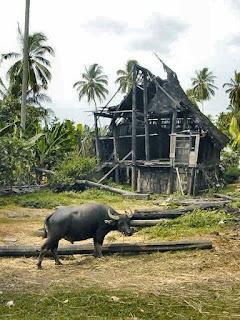 contoh bangsa kerbau di indonesia