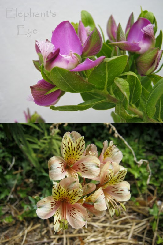Septemberbossie Alstroemeria