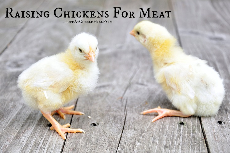 answering questions about raising chickens for meat