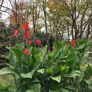 Tall red cannas_Sue Reno