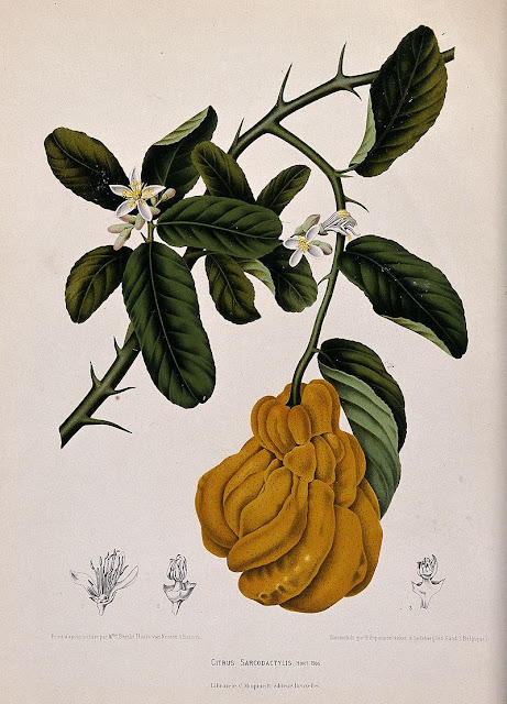 A species of citrus fruit (Citrus sarcodactylis Hort. Bog.): flowering and fruiting branch with separate numbered flower sections. Chromolithograph by P. De Pannemaeker, c. 1885,