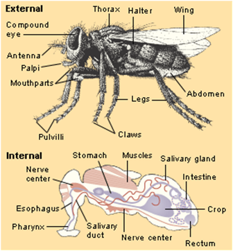 house fly anatomy diagram of playstation 3 housefly 6763249 togelmaya info a musca domestica plaque zazzle