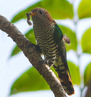 Asian emerald cuckoo - Chrysococcyx maculatus