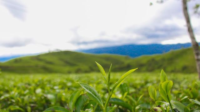 kebun teh cukul