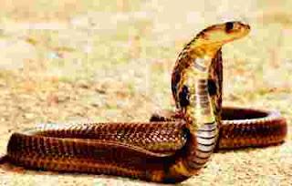 Foto Ular Cobra