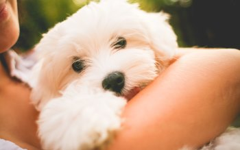Wallpaper: Animal - Dog Lovely Maltese Puppy