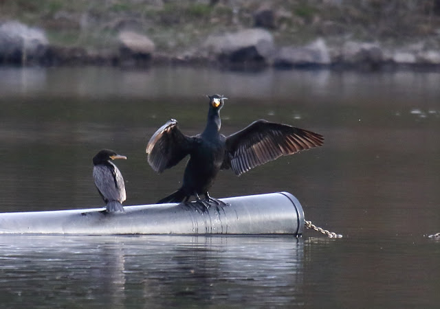 Adult Neotropic Cormorant among Double-crested Cormorants
