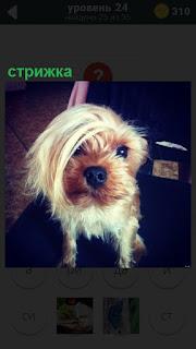 У собаки сделана модная стрижка на голове, челка на боку