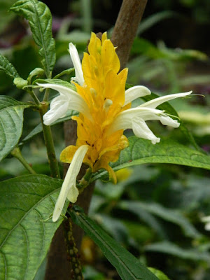 Pachystachys lutea Golden Shrimp Plant Lollipop Plant at the Allan Gardens Conservatory by garden muses-not another Toronto gardening blog