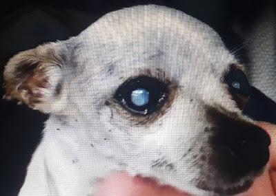 köpek-göz-hastalıkları