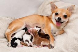 Cara Merawat Anak Anjing yang Baru Lahir Terlengkap