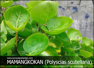 Tanaman Mamangkokan (Polyscias scutellaria) tanaman dengan daun mirip mangkok